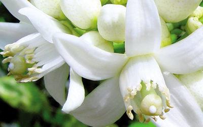 El azahar, la flor del naranjo