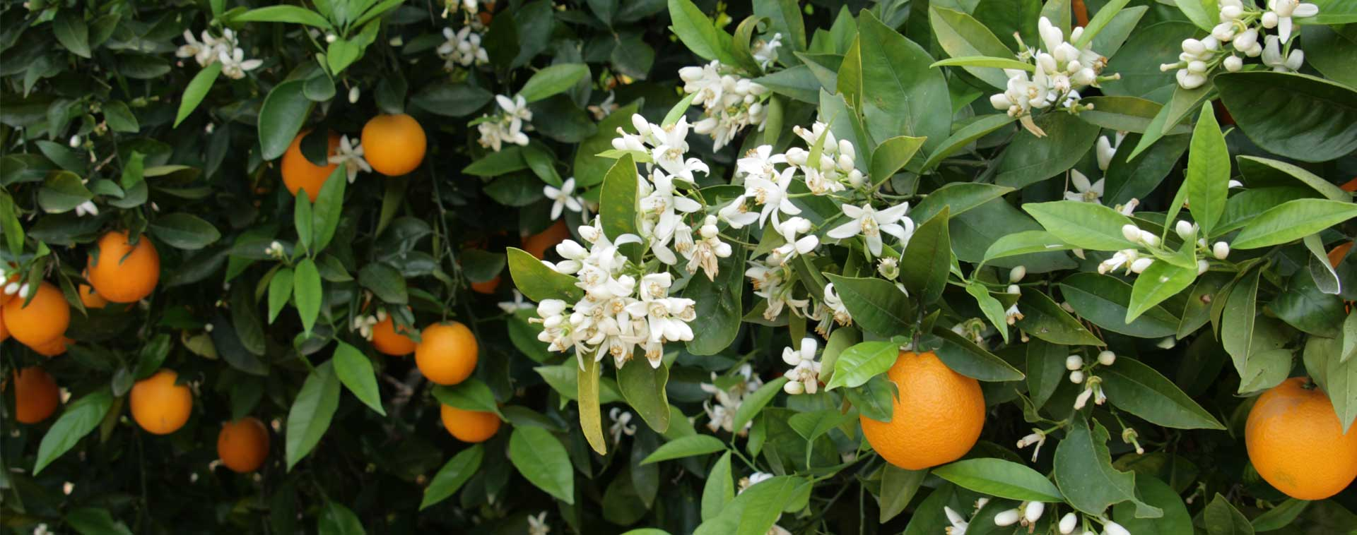 azahar la flor del naranjo
